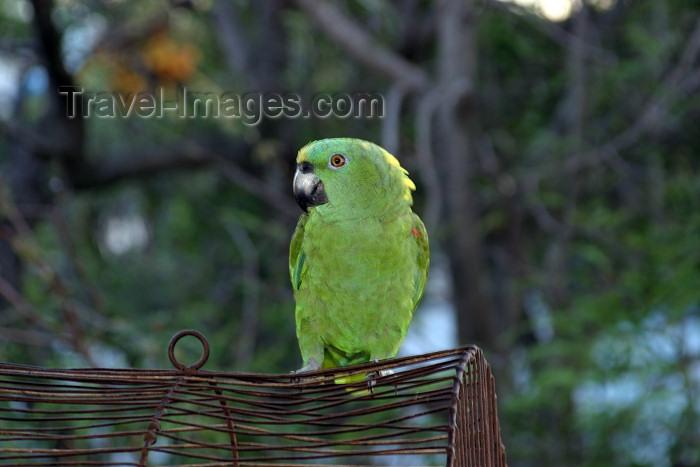 honduras13: Honduras - Roatán island: green parrot - photo by C.Palacio - (c) Travel-Images.com - Stock Photography agency - Image Bank