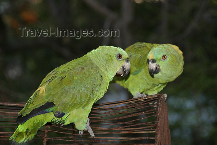 honduras14: Honduras - Roatan: green parrots head to head - photo by C.Palacio - (c) Travel-Images.com - Stock Photography agency - Image Bank
