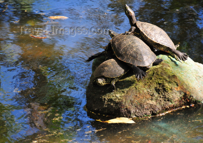honduras65: Tegucigalpa, Honduras: pond in Concordia Park - three turtles bask on a rock - photo by M.Torres - (c) Travel-Images.com - Stock Photography agency - Image Bank
