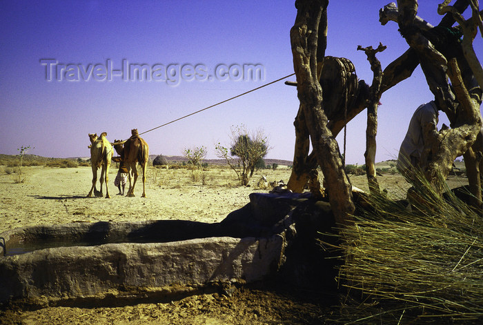india103: India - Thar desert, Gujarat: drawing water with a camel  - photo by E.Petitalot - (c) Travel-Images.com - Stock Photography agency - Image Bank