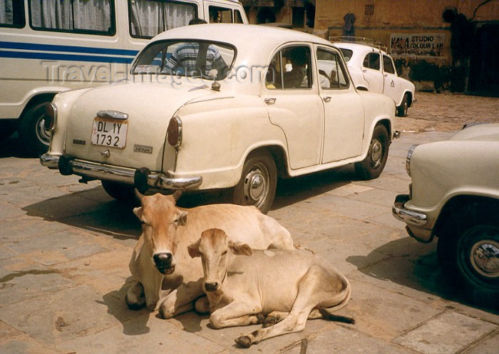 india172: India - Rajasthan: cows and Hindustani motors at rest - photo by M.Torres - (c) Travel-Images.com - Stock Photography agency - Image Bank