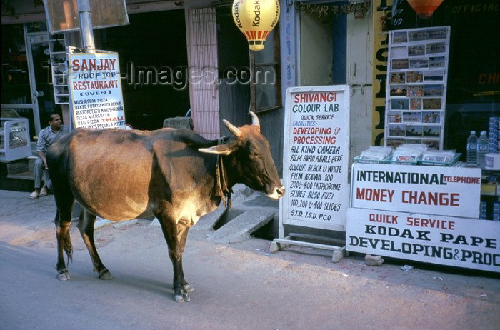india187: India - Amritsar (Punjab): photo lab and sacred cow - Kodak ad (photo by J.Kaman) - (c) Travel-Images.com - Stock Photography agency - Image Bank