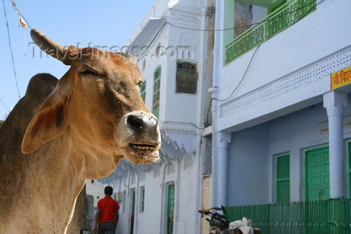 india213: Pushkar, Rajasthan, India: cow and façades - photo by M.Wright - (c) Travel-Images.com - Stock Photography agency - Image Bank