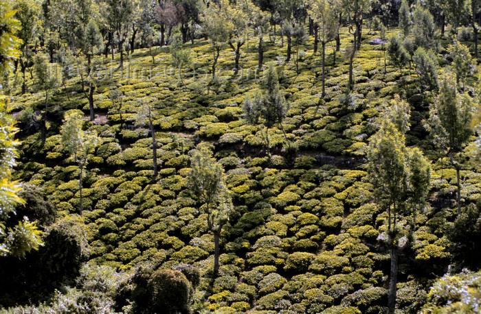 india26: India - Sooty Ooty / Ootacamund /  Udagamandalam (TN): tea plantations - Nilgiri Hills - photo by W.Allgöwer - (c) Travel-Images.com - Stock Photography agency - Image Bank