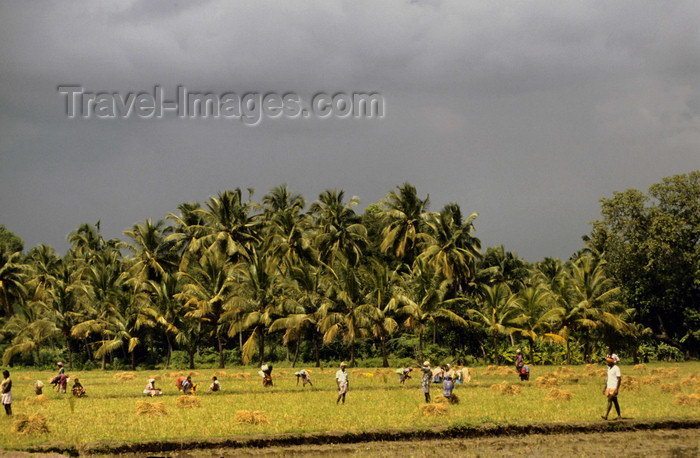 india306: South India: rice cultivation - Asian agriculture - photo by W.Allgöwer - (c) Travel-Images.com - Stock Photography agency - Image Bank