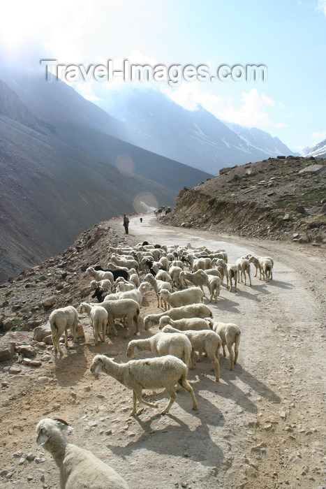 india405: India - Manali to Leh highway: sheep - photo by M.Wright - (c) Travel-Images.com - Stock Photography agency - Image Bank
