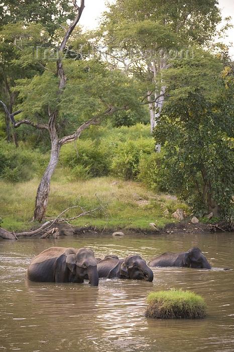 india428: Bandipur National Park, TN, India: Indian elephants bathing - Elephas maximus indicus - photo by J.Cave - (c) Travel-Images.com - Stock Photography agency - Image Bank