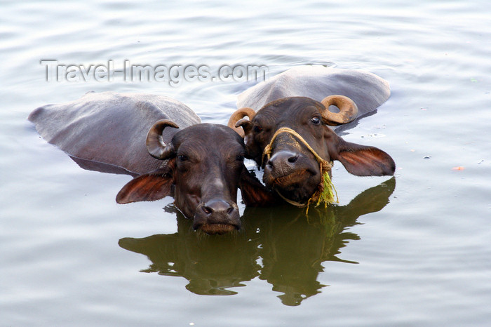 india433: Varanasi / Benares, UP, India: water buffaloes in the Ganga river - photo by M.Wright - (c) Travel-Images.com - Stock Photography agency - Image Bank