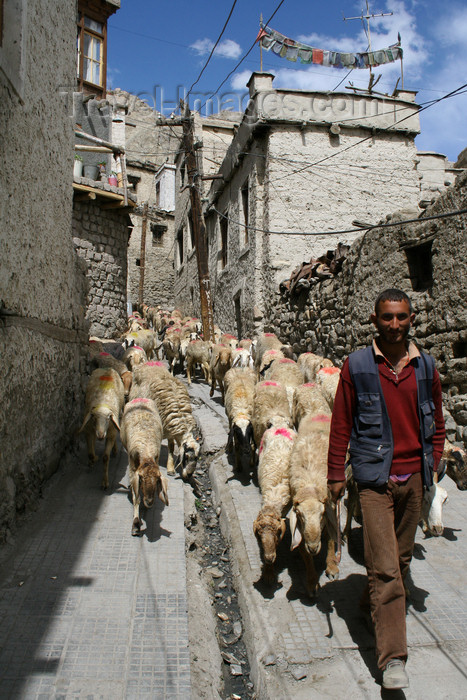 india440: Leh, Ladakh, Jammu and Kashmir, India: a shepherd and his flock - photo by M.Wright - (c) Travel-Images.com - Stock Photography agency - Image Bank
