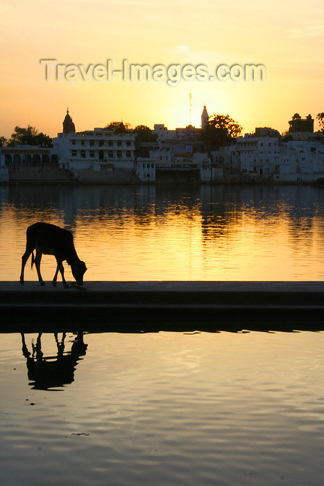 india451: Pushkar, Rajasthan, India: cow at sunset - skyline - photo by M.Wright - (c) Travel-Images.com - Stock Photography agency - Image Bank