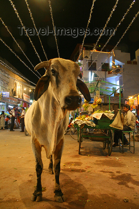 india456: Pushkar, Rajasthan, India: cow at night - photo by M.Wright - (c) Travel-Images.com - Stock Photography agency - Image Bank