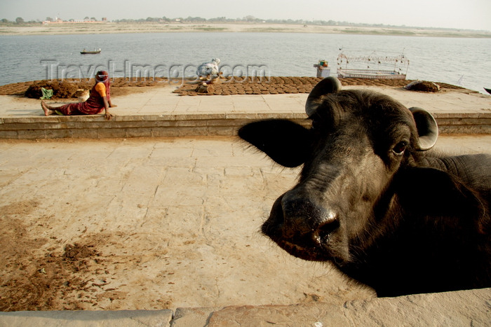 india484: Varanasi, Uttar Pradesh, India: ghats at the river Ganga - oxen and dung cakes baking in he sun - Varanasi ghats - photo by G.Koelman - (c) Travel-Images.com - Stock Photography agency - Image Bank