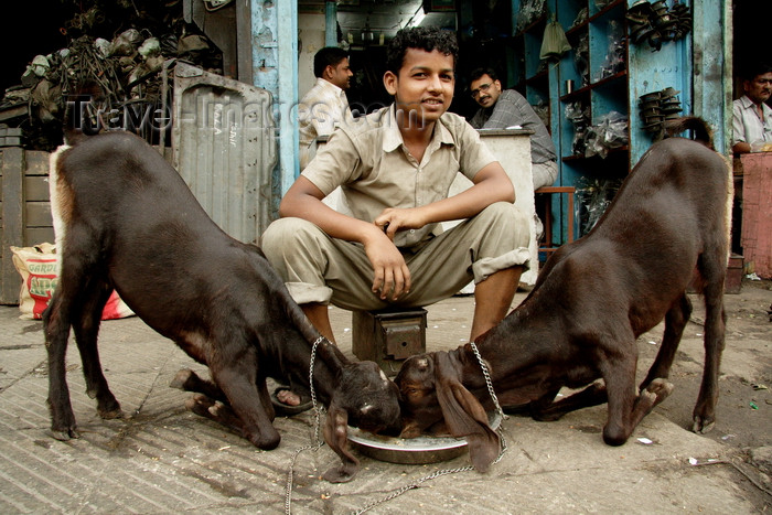 india489: New Delhi, India: street life - goats eating - photo by G.Koelman - (c) Travel-Images.com - Stock Photography agency - Image Bank