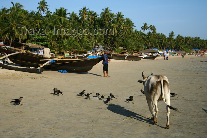 india67: India - Goa: fishing boats and cow - Palolem Beach - photo by M.Wright - (c) Travel-Images.com - Stock Photography agency - Image Bank