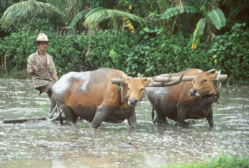 indonesia1: Indonesia - Bali: cattle plowing rice field - Water Buffaloes - Bubalus bubalis - photo by Mona Sturges - (c) Travel-Images.com - Stock Photography agency - Image Bank
