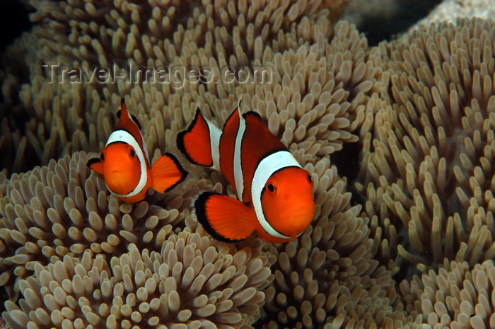 indonesia100: Wakatobi archipelago, Tukangbesi Islands, South East Sulawesi, Indonesia: pair of clownfish / anemonefish - 