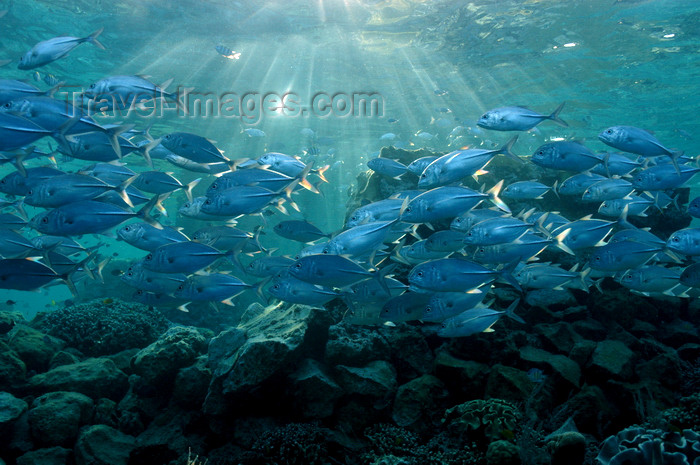 indonesia103: Wakatobi archipelago, Tukangbesi Islands, South East Sulawesi, Indonesia : shoal of jacks in sun's rays - Banda Sea - Wallacea - photo by D.Stephens - (c) Travel-Images.com - Stock Photography agency - Image Bank