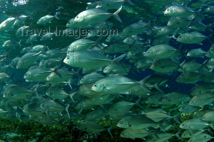 indonesia105: Wakatobi archipelago, Tukangbesi Islands, South East Sulawesi, Indonesia: shoal of big-eye trevally - Caranx sexfasciatus