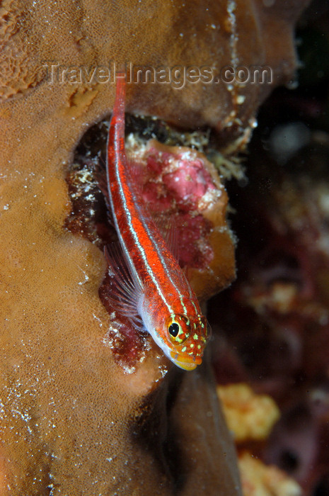 indonesia106: Wakatobi archipelago, Tukangbesi Islands, South East Sulawesi, Indonesia: goby on sponge - family Gobiidae - Banda Sea - Wallacea - photo by D.Stephens - (c) Travel-Images.com - Stock Photography agency - Image Bank
