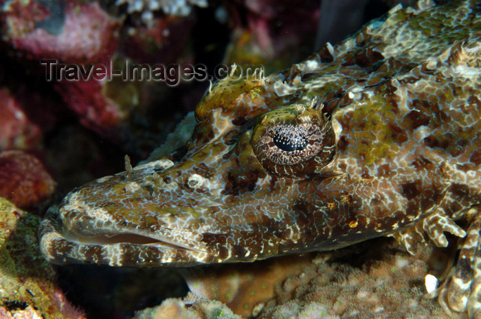 indonesia109: Wakatobi archipelago, Tukangbesi Islands, South East Sulawesi, Indonesia: crocodile fish head - Cymbacephalus beauforti - Banda Sea - Wallacea - photo by D.Stephens - (c) Travel-Images.com - Stock Photography agency - Image Bank