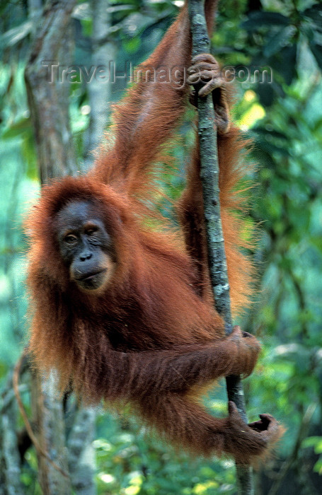 indonesia110: Bukit Lawang, North Sumatra, Indonesia: Sumatran Orangutan in the jungle - Pongo abelii - photo by S.Egeberg  - (c) Travel-Images.com - Stock Photography agency - Image Bank