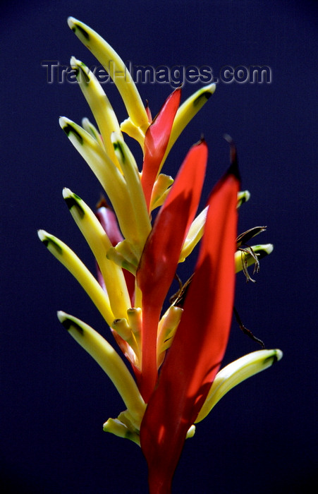 indonesia114: Seminyak, Bali, Indonesia: Heliconia plant at Kembali Villas - photo by D.Jackson - (c) Travel-Images.com - Stock Photography agency - Image Bank
