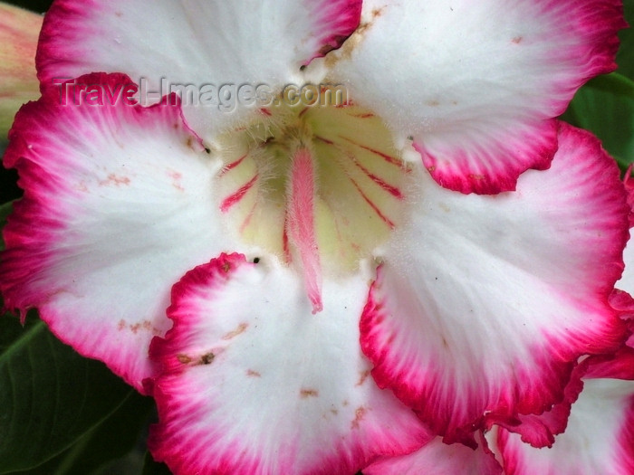 indonesia116: Seminyak, Bali, Indonesia: red and white Hibiscus - Kembali Villas - photo by D.Jackson - (c) Travel-Images.com - Stock Photography agency - Image Bank