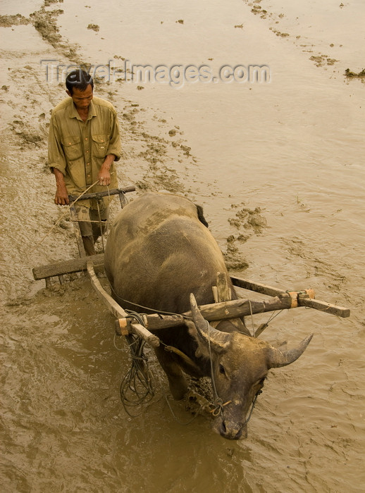 indonesia42: Indonesia - West Sumatra: Lake Maninjau - farmer and buffalo work in the mud - photo by P.Jolivet - (c) Travel-Images.com - Stock Photography agency - Image Bank
