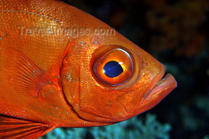 indonesia46: Wakatobi archipelago, Tukangbesi Islands, South East Sulawesi, Indonesia : Crescent-tail Bigeye - Priacanthus hamrur - fish of the family Priacanthidae - Banda Sea - Wallacea - photo by D.Stephens - (c) Travel-Images.com - Stock Photography agency - Image Bank