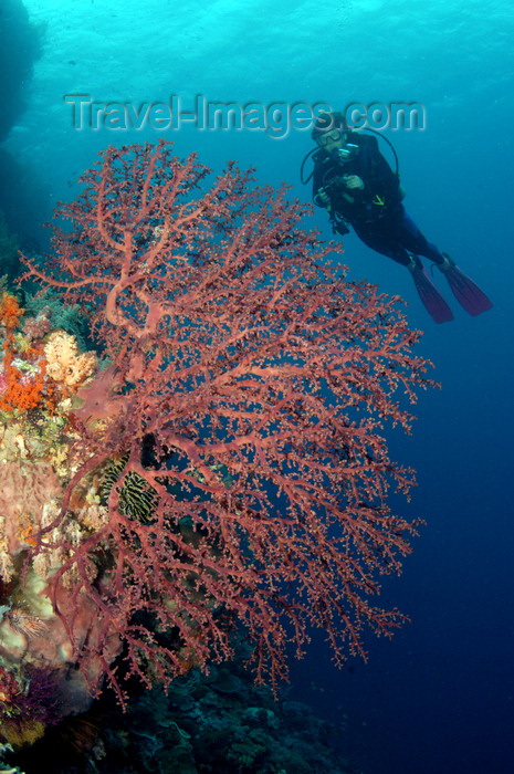 indonesia47: Wakatobi archipelago, Tukangbesi Islands, South East Sulawesi, Indonesia: diver over fan coral - Banda Sea - Wallacea - photo by D.Stephens - (c) Travel-Images.com - Stock Photography agency - Image Bank