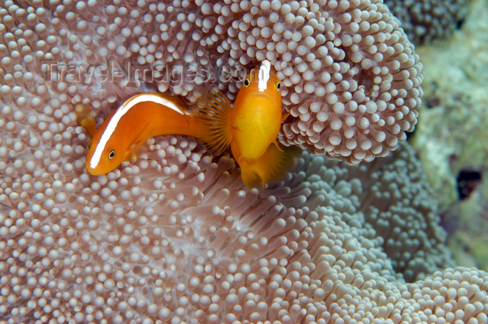 indonesia49: Wakatobi archipelago, Tukangbesi Islands, South East Sulawesi, Indonesia: pair of Skunk Clownfish - Amphiprion sandaracinos - Banda Sea - Wallacea - photo by D.Stephens - (c) Travel-Images.com - Stock Photography agency - Image Bank