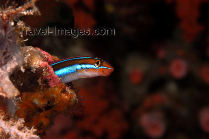 indonesia75: Wakatobi archipelago, Tukangbesi Islands, South East Sulawesi, Indonesia: Blue lined sabretooth blenny - Plagiotremus rhinorhynchos - Banda Sea - Wallacea - photo by D.Stephens - (c) Travel-Images.com - Stock Photography agency - Image Bank