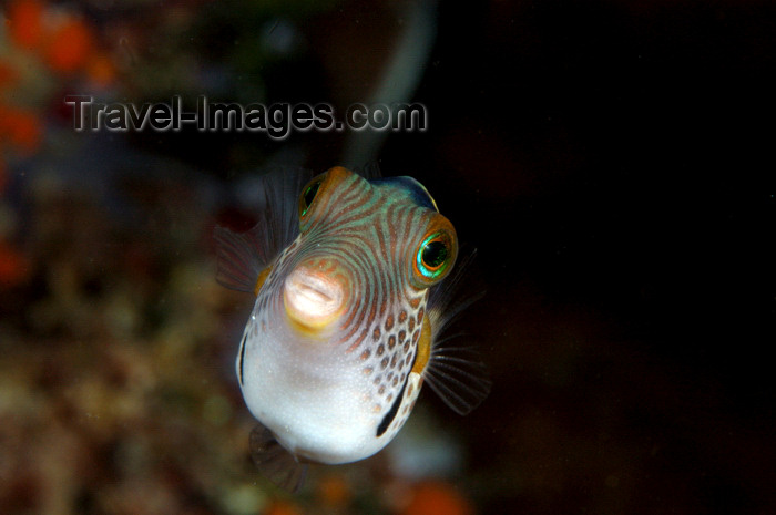 indonesia76: Wakatobi archipelago, Tukangbesi Islands, South East Sulawesi, Indonesia: Black Saddled Toby - Canthigaster valentini - Banda Sea - Wallacea - photo by D.Stephens - (c) Travel-Images.com - Stock Photography agency - Image Bank