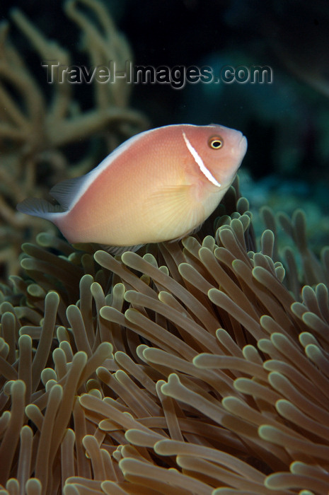 indonesia80: Wakatobi archipelago, Tukangbesi Islands, South East Sulawesi, Indonesia: pink skunk clownfish / anemonefish - Amphiprion perideraion - family Pomacentridae - Banda Sea - Wallacea - photo by D.Stephens - (c) Travel-Images.com - Stock Photography agency - Image Bank