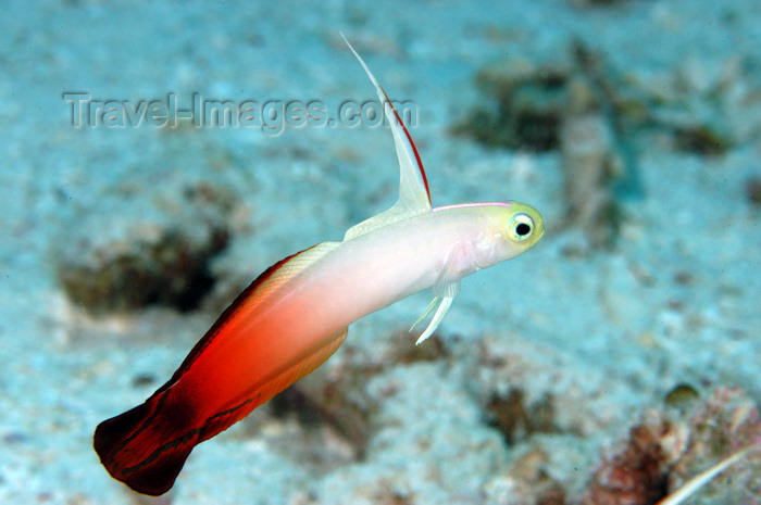 indonesia82: Wakatobi archipelago, Tukangbesi Islands, South East Sulawesi, Indonesia: fire goby or firefish, aka firedart goby - Nemateleotris magnifica