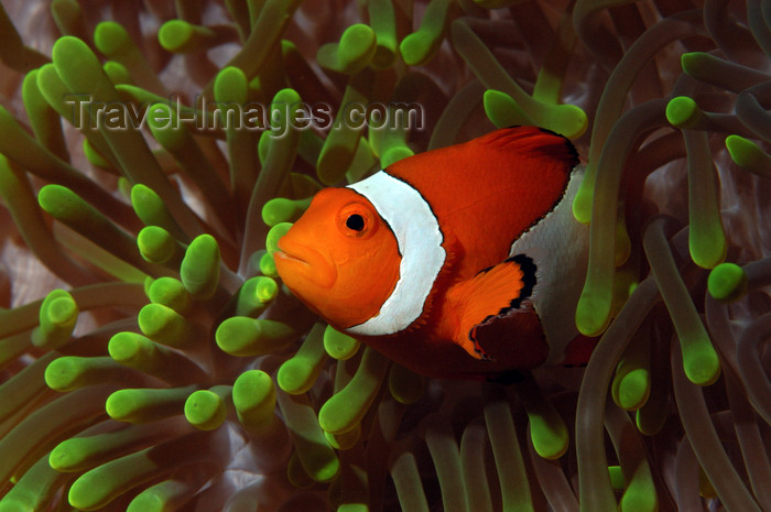 indonesia84: Wakatobi archipelago, Tukangbesi Islands, South East Sulawesi, Indonesia: Clownfish in a Ritteri anemone / False Percula Clownfish - Amphiprion ocellaris - Banda Sea - Wallacea - photo by D.Stephens - (c) Travel-Images.com - Stock Photography agency - Image Bank