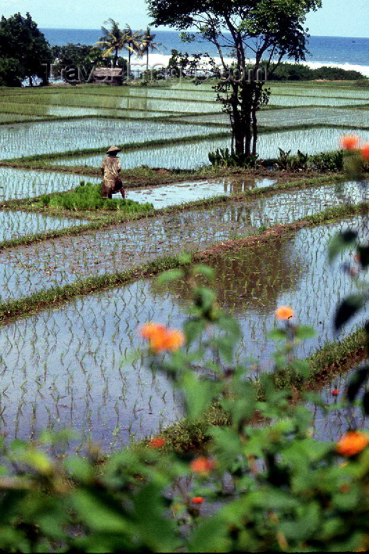 indonesia9: Indonesia - Bali: flooded rice field near the coast - race paddies (photo by Mona Sturges) - (c) Travel-Images.com - Stock Photography agency - Image Bank