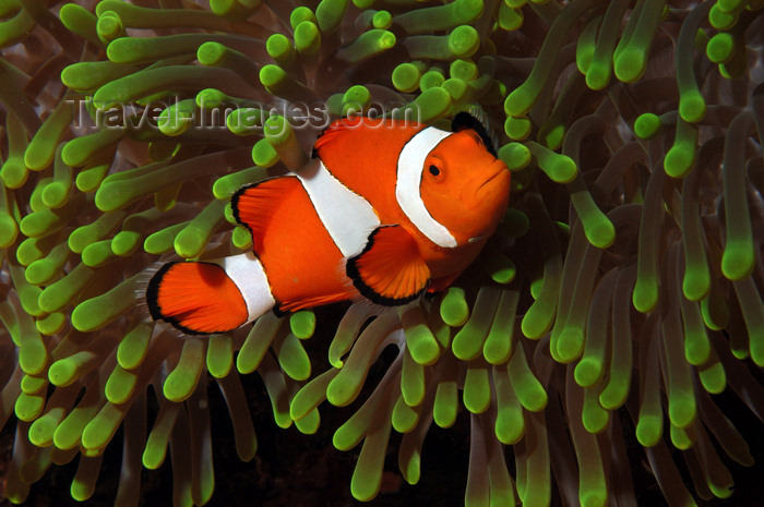 indonesia92: Wakatobi archipelago, Tukangbesi Islands, South East Sulawesi, Indonesia: Clownfish in a Ritteri anemone / False Percula Clownfish - Amphiprion ocellaris - family Pomacentridae - Banda Sea - Wallacea - photo by D.Stephens - (c) Travel-Images.com - Stock Photography agency - Image Bank
