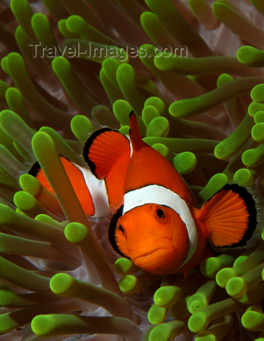 indonesia93: Wakatobi archipelago, Tukangbesi Islands, South East Sulawesi, Indonesia: front view of Clownfish in a Ritteri anemone / False Percula Clownfish - Amphiprion ocellaris - family Pomacentridae - Banda Sea - Wallacea - photo by D.Stephens - (c) Travel-Images.com - Stock Photography agency - Image Bank