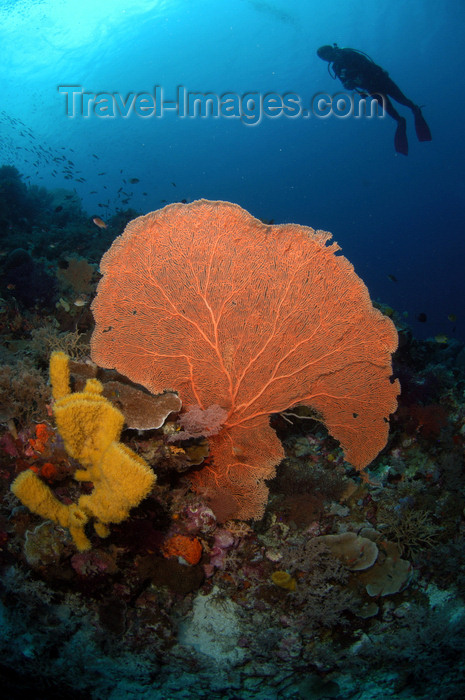 indonesia95: Wakatobi archipelago, Tukangbesi Islands, South East Sulawesi, Indonesia: diver above fan coral - Banda Sea - Wallacea - photo by D.Stephens - (c) Travel-Images.com - Stock Photography agency - Image Bank