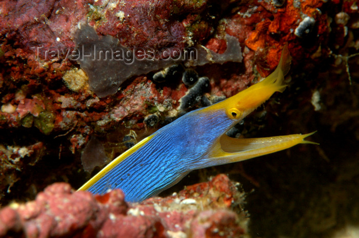 indonesia99: Wakatobi archipelago, Tukangbesi Islands, South East Sulawesi, Indonesia: Blue ribbon eel / Ribbon moray - Rhinomuraena quaesita - family Muraenidae - Banda Sea - Wallacea - photo by D.Stephens - (c) Travel-Images.com - Stock Photography agency - Image Bank