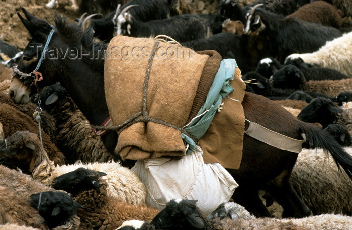 iran465: Iran: Onager - Equus hemionus - half ass - donkey and sheep - photo by W.Allgower - (c) Travel-Images.com - Stock Photography agency - Image Bank