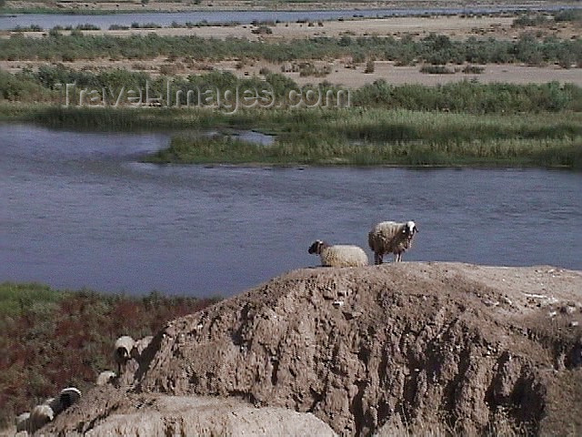 iraq80: Assur / Ashur, alah al-Din Governorate, Iraq: sheep survey the Tigris river - ancient Assyria - photo by A.Slobodianik - (c) Travel-Images.com - Stock Photography agency - Image Bank