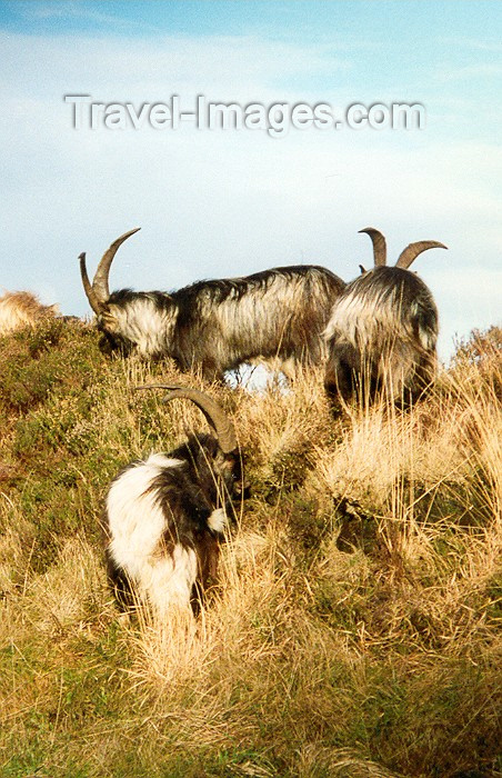 ireland14: Ireland - Partry Mountains: wild goats (county Mayo) - photo by Miguel Torres - (c) Travel-Images.com - Stock Photography agency - Image Bank