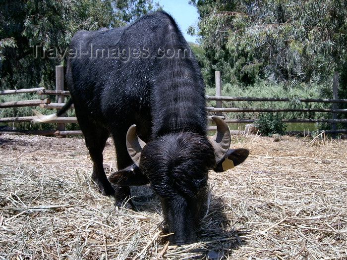 israel261: Israel - Hadera: Park Hef Tziba - black bull- photo by Efi Keren - (c) Travel-Images.com - Stock Photography agency - Image Bank