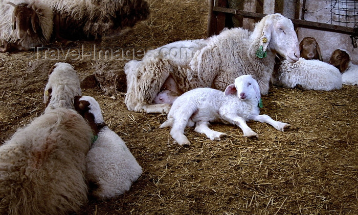 israel264: Israel - Neot Kdumim / Neot Kedumim, Center District: family - sheep - lamb - photo by E.Keren - (c) Travel-Images.com - Stock Photography agency - Image Bank