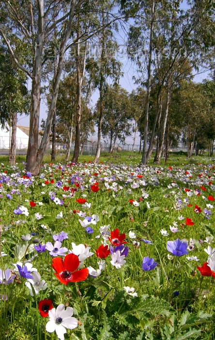 israel266: Israel - Megido, North District: flower carpet next to Megido airdrome - photo by E.Keren - (c) Travel-Images.com - Stock Photography agency - Image Bank