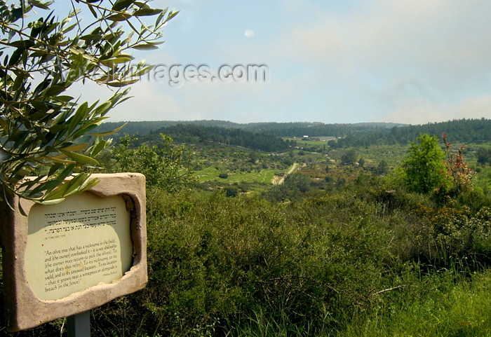 israel270: Israel - Neot Kdumim: olive branch and landscape - photo by E.Keren - (c) Travel-Images.com - Stock Photography agency - Image Bank