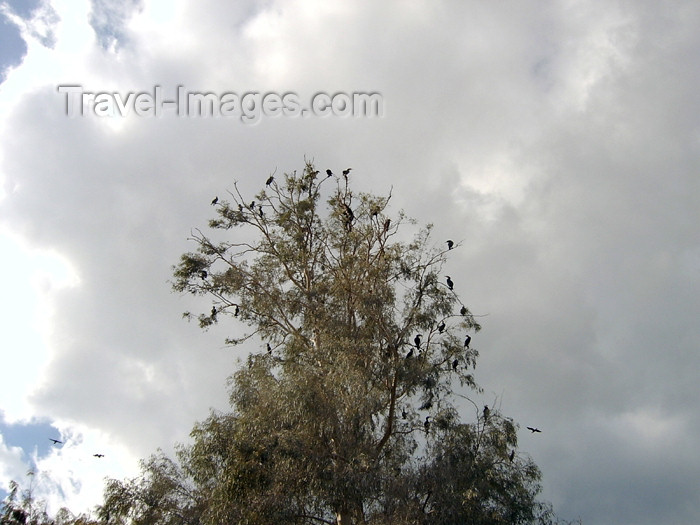 israel273: Israel - Hadera: Park Hef Tziba - birds' camp - birds on a tree - photo by Efi Keren - (c) Travel-Images.com - Stock Photography agency - Image Bank