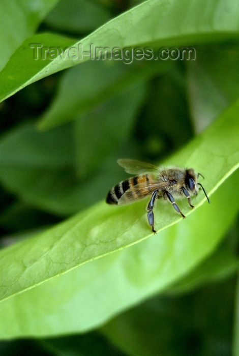 israel276: Israel - bee on a leaf - photo by Efi Keren - (c) Travel-Images.com - Stock Photography agency - Image Bank
